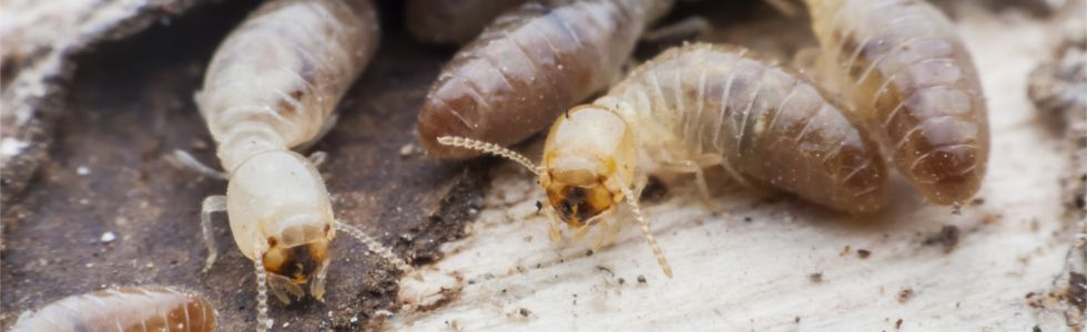 Termite Treatments - Quick Kill Pest Control