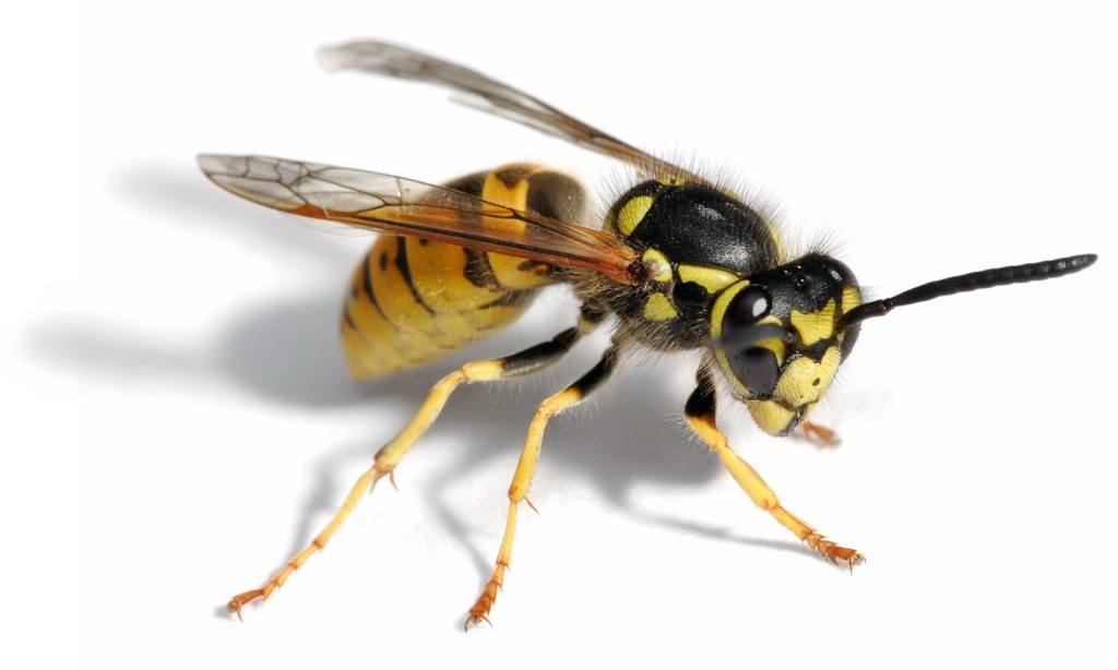 European Wasp - Quick Kill Pest Control