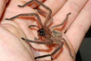 Huntsman Spider - Quick Kill Pest Control