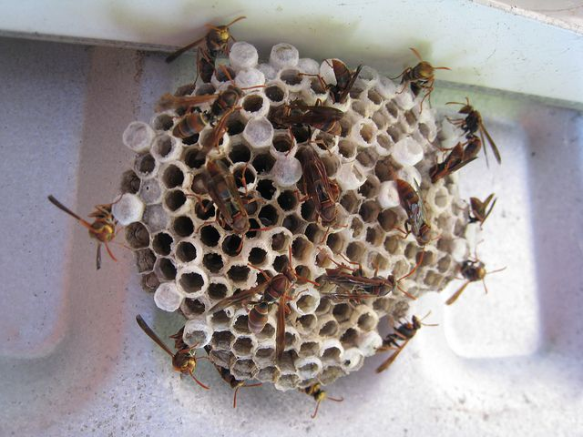 Paper Wasps - Quick Kill Pest Control